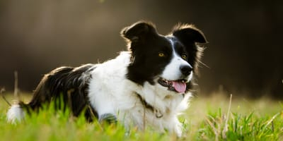 Everything you need to know about the Border Collie cross