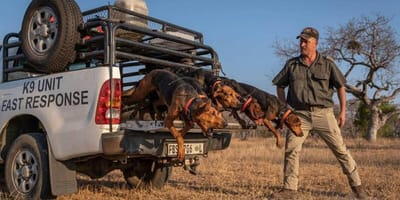 A pack of dogs jumps from the back of a pick up in Kruger Park