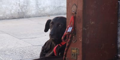 cane-legato-alla-valigia