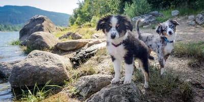 Zwei Mini Australian Shepherds