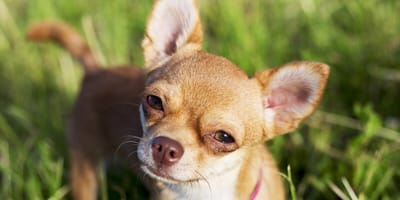 Everything you need to know about the Chihuahua cross