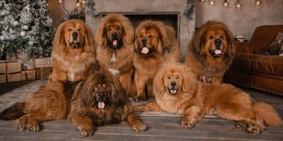 Najdroższe psy na świecie – poznaj rasy!