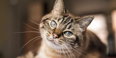 gato rayado ojos azules gordo