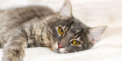 Ropomacicze u kotki - co to za choroba?