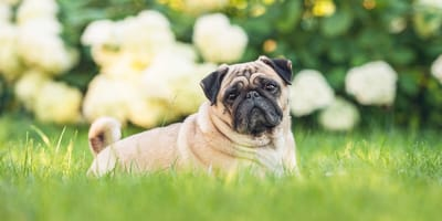 Pug cross: Everything you need to know