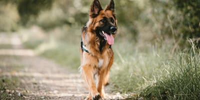 Everything you need to know about the German shepherd cross