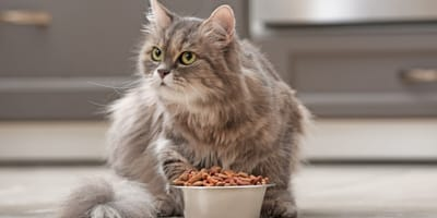 British Longhair cat with food bowl