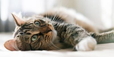 ¿Cómo tratar una infección urinaria en gatos?