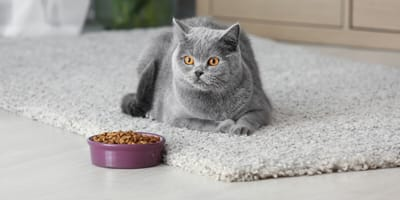 Gatto Scottish Fold allergico al cibo che guarda una ciotola