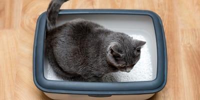 How often should a cat poop on wet food?