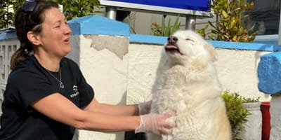 white fluffy dog with tongue out being stroked by vet with gloves