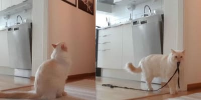 Ragdoll cat home alone