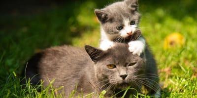 gattino-gioca-con-mamma-gatta