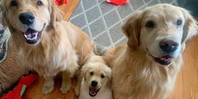two adult and one puppy golden retriever