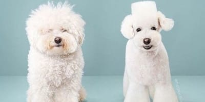 peinado perro antes y despues