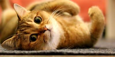 gato anaranjando en la cama