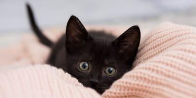 black kitten stalking on pink cover