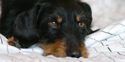 Traurigster Hund Deutschlands: Drama beim Gassigehen mit Dackel