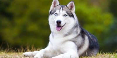 I 6 incroci di Husky Siberiano più belli