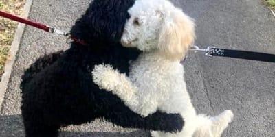 Dwa psy cockapoo biały i czarny