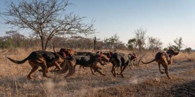 Grupa_psow_biegnie_Afryka