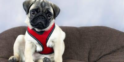 Pechera para perro: cómo escogerla y usarla bien