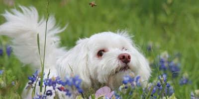 Bichon dog in flowers with bee on top