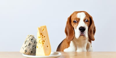 Can I feed my dog cheese?