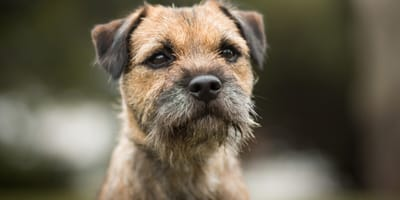 Everything you need to know about the Border Terrier cross breeds