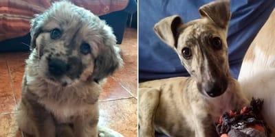 brianna rayan cachorros rescatados perrukis protectora