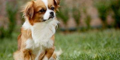 White and brown papillon dog