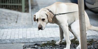 Labrador dog pooping