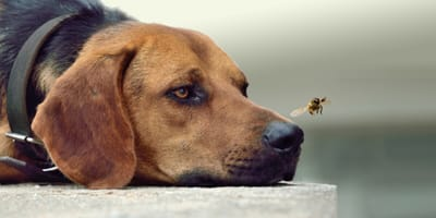 Brown dog with a wasp on its nose