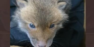 cucciolo-di-volpe