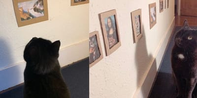 Black cat stares at pictures on a wall