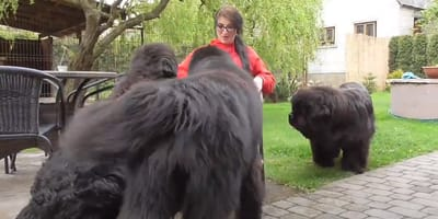 Giant Newfies corner their owner: What happens next will make you speechless