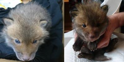Montage of fox cub
