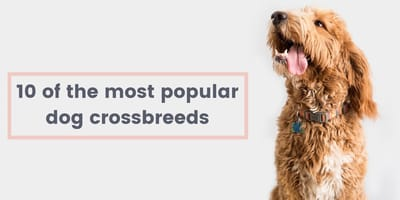 10 Dog crossbreeds that are utterly irresistible!