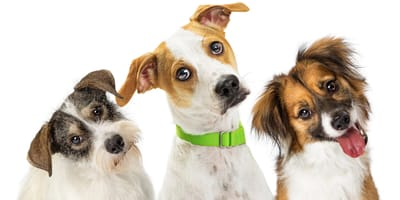 Cross breed dogs: Learn about the advantages and disadvantages