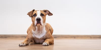Colitis in dogs: symptoms and treatment