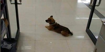 Un cagnolino dimostra una fedeltà unica durante il Covid-19