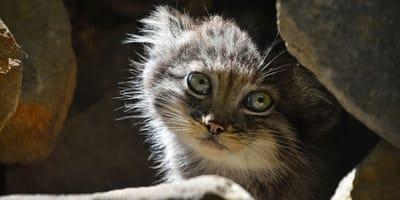 Manul Kätzchen