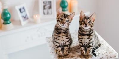 gatos de bengala leopardo