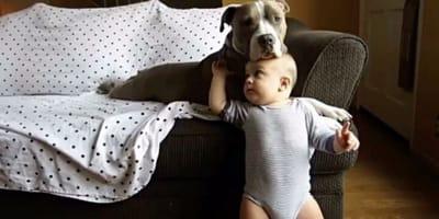 pitbull con bebe