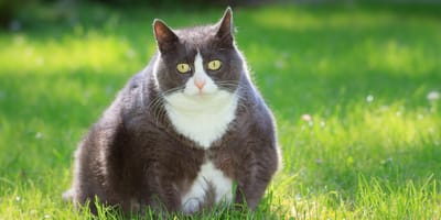 Obesity in cats: causes and treatment