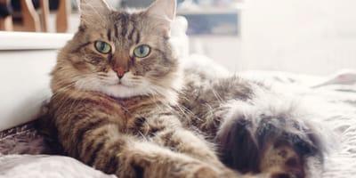 Gatto-sorianocon-malattia-autoimmune-riposa-sul letto