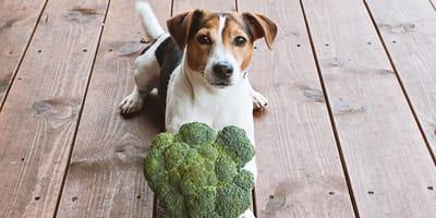pies i brokuł