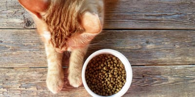 What should you feed a cat after surgery?