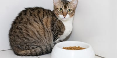 Cat anorexia: why is my cat not eating?