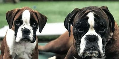 Top 5 breeds that are most susceptible to heatstroke in hot weather